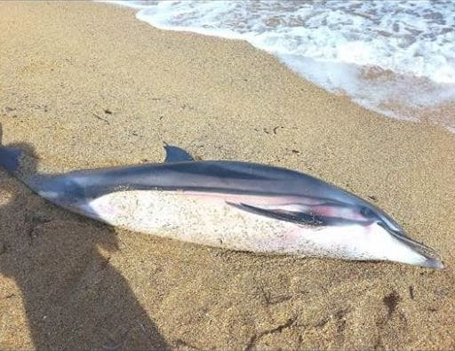 εκβρασμένο δελφίνι