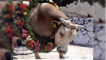 Όχι στο έθιμο διαπόμπευσης και θανάτωσης ταύρου στην Τσακώνη Καστοριάς