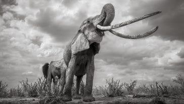 Εκπληκτικά τελευταία πορτρέτα της «Βασίλισσας των Ελεφάντων»